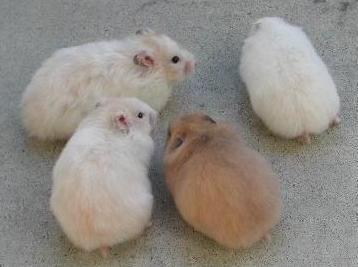фото сирийские хомячки